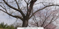 桜を見に散歩♪